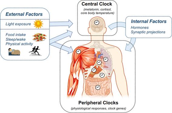 Arquitectura del sistema circadiano