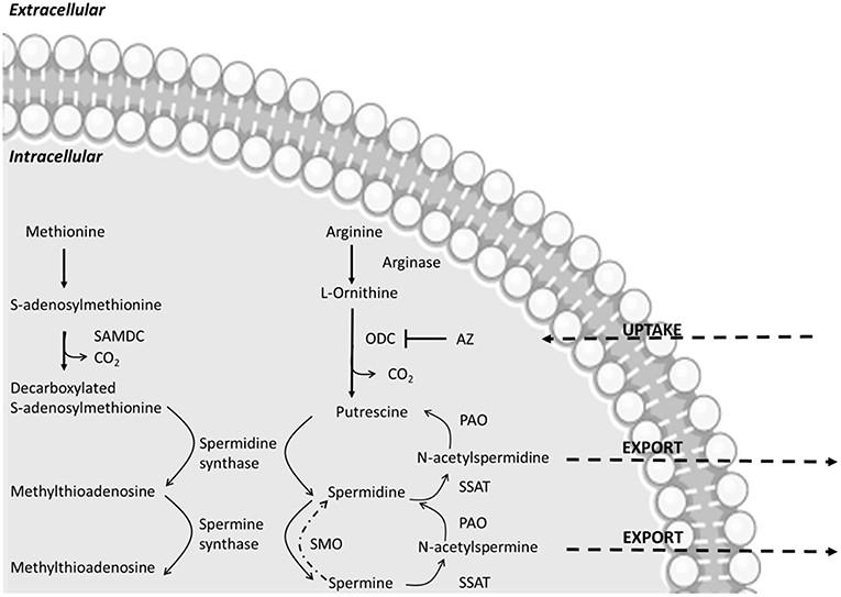 Poliaminas y Microbiota Intestinal