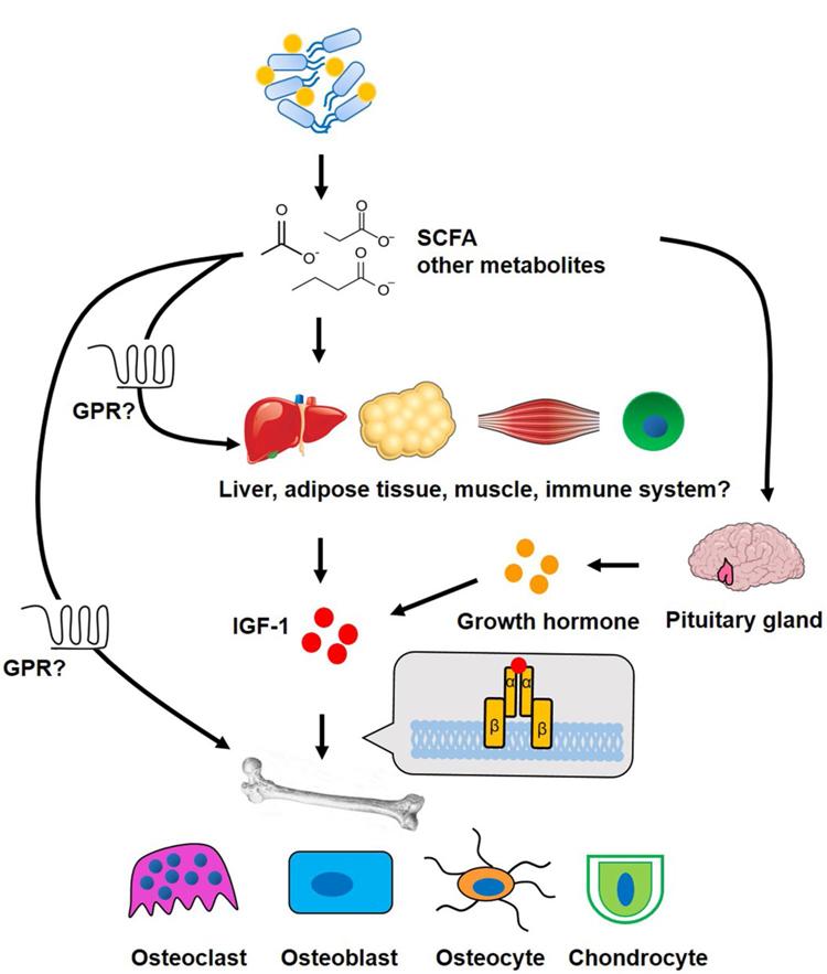 Microbiota intestinal y los efectos sobre el hueso