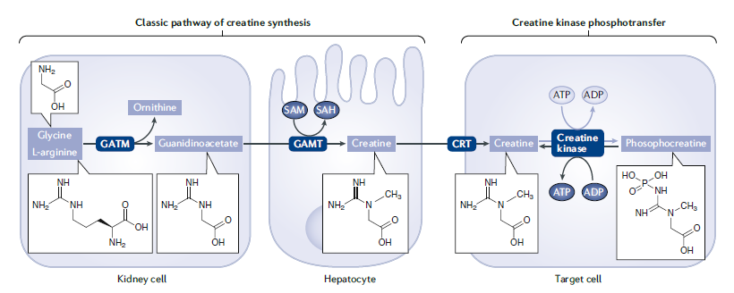 Proceso endógeno de síntesis de creatina